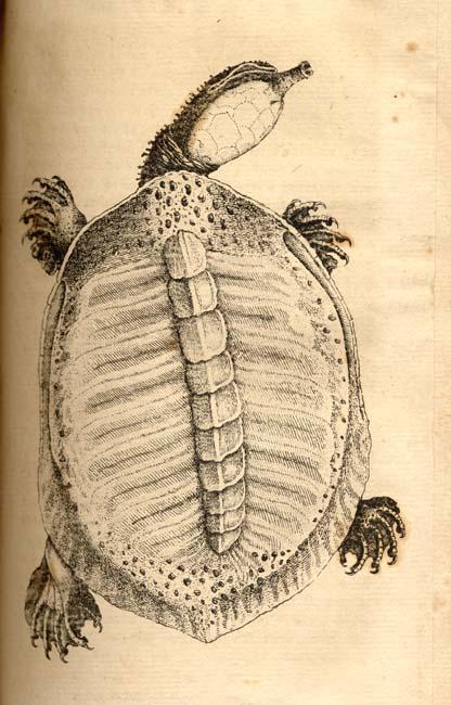 Bartram's Travels Turtle
