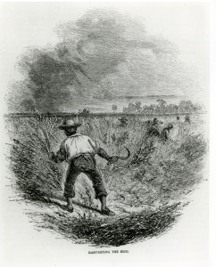 "Print ""Harvesting the Rice."" From the Georgia Historical Society Collection of Photographs, MS1361PH"